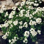 Fladnitzer Felsenblümchen