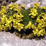 Sauters Felsenblümchen