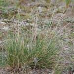 Dünen-Schafschwingel