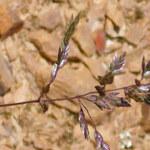 Sumpf-Straußgras