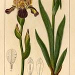 Holunder-Schwertlilie