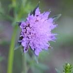 Wald-Witwenblume