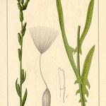 Weidenblättriger Lattich