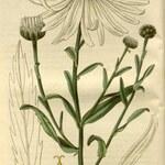 Spätblühende Margerite