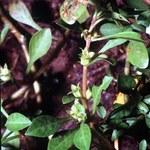 Sumpf-Heusenkraut