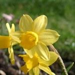 Osterglocke