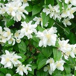 Falscher Jasmin