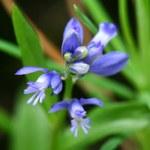 Voralpen-Kreuzblümchen