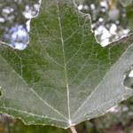 Silber-Pappel