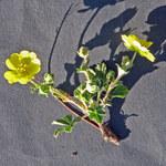 Sternhaariges Frühlings-Fingerkraut