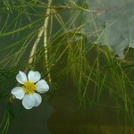 Flutender Wasser-Hahnenfuß