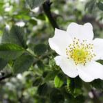 Acker-Rose