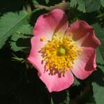 Weiche Rose