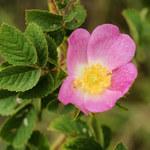 Filz-Rose
