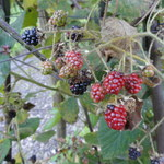 Träufelspitzen-Brombeere