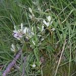 Zweifarbige Weide