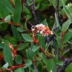 Heidelbeer-Weide