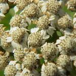 Großblättrige Wucherblume