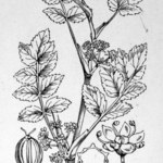 Knotenblütiger Sellerie