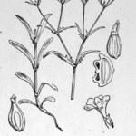 Gezähnter Feldsalat