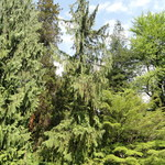 Hänge-Alaskacypresse