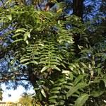 Dreidorniger Lederhülsenbaum