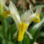 Geweih-Iris