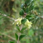 Immergrüne Heckenkirsche