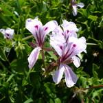 Efeu-Pelargonie