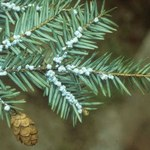 Nest-Hemlocktanne