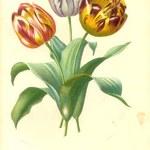 Gartentulpe