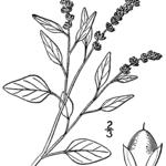 Liegender Fuchsschwanz