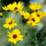 Weidenblättrige Sonnenblume