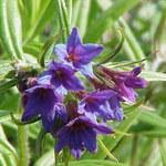 Blauroter Steinsame