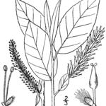 Balsam-Weide