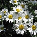 Balsam-Wucherblume