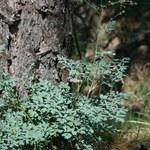 Alpine Kleine Wiesenraute