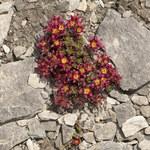 Zweiblütiger Steinbrech