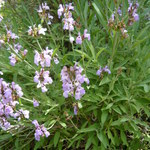 Lavendelblättriger Salbei