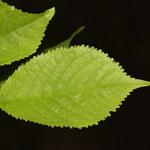 Sauerkirsche