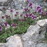 Alpen-Thymian