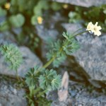 Korianderblättrige Schmuckblume