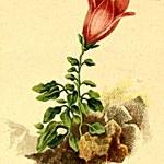 Dolomiten-Glockenblume