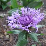 Einköpfige Flockenblume