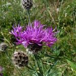 Alpen-Flockenblume
