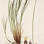 Rasen-Segge