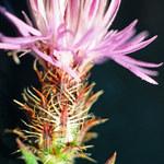 Sparrige Flockenblume