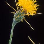 Sonnenwend Flockenblume