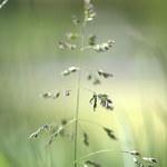 Rasen-Schmiele
