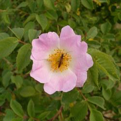 Vogesen-Rose